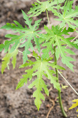 young plant of papaya tree in garden