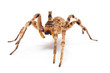 spider isolated - 81906532