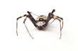 spider isolated - 81906551