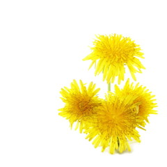 Dandelion flowers isolated on white background