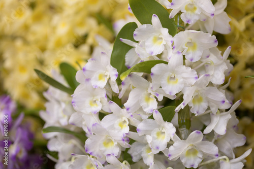 Plexiglas Orchidee デンドロビューム