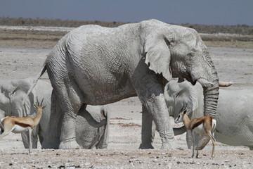 Elefant Etosha, Namibia