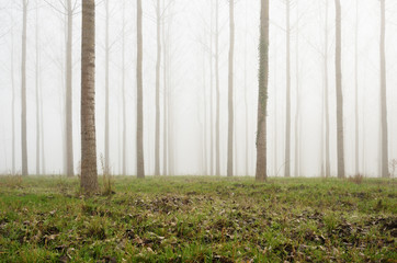 Young artificial forest in the fog