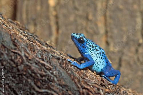 In de dag Kikker Blauer Pfeilgiftfrosch (Dendrobates tinctorius azureus)