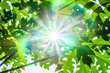 Sunlight and lens flare from the gap between Carica papaya tree