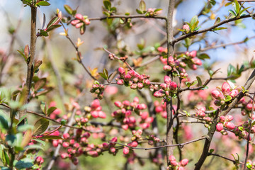 Spring Tree Branches And Buds Blossom