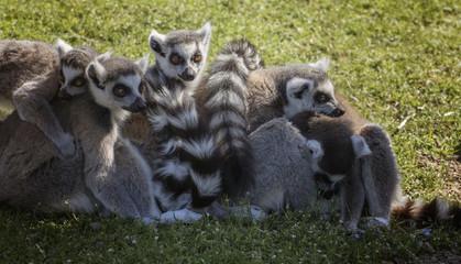 lemuri abbracciati