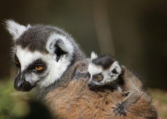 lemure con figlio