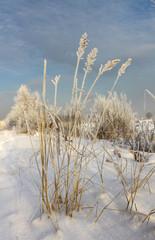 Колосья в изморози на фоне неба
