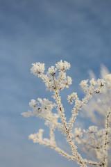 Растение в изморози на фоне неба