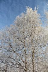 Дерево в инее