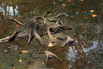 Stump in a peat swamp forest