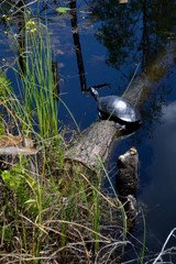 A black turtle on a log in the swamp