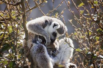 lemure che accarezza cuccciolo