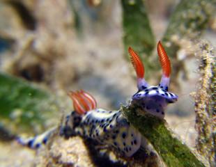 nudibranch eilat