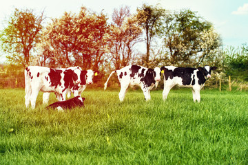 Calves In Spring Field