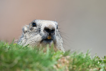 ground hog marmot portrait while looking at you