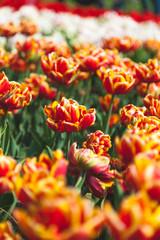 Tulips in a field in Amsterdam, Netherlands
