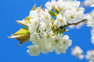 Blossoming cherry trees agains blue sky.