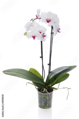 Papiers peints Orchidée White orchid on a white background