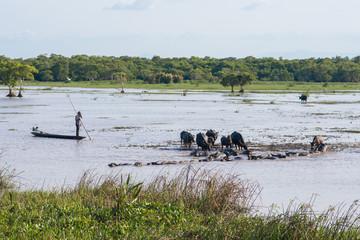 man shepherd water buffalo into buffalo stall