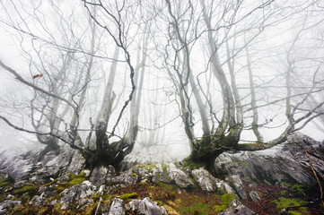 foggy forest with creepy trees