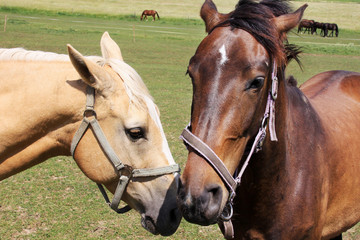Amorous Horses on the green Pasture