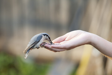 birdie pecks sunflower seeds from a hand palm