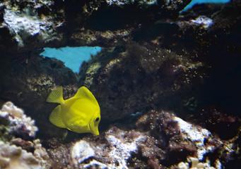 Yellow Tang Tropical Fish