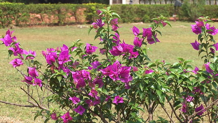Flowers near by Cathedral in Old Goa, India