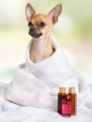 Animal. Purebred chihuahua after the bath in front of white