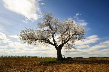 Kirschbaum blüht im Frühling auf dem Acker