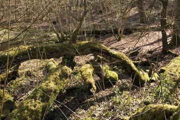 Green moss on falen trees