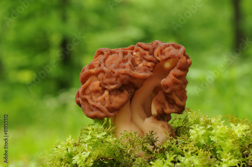 Gyromitra esculenta known as False morel - 81935512