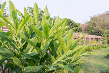 Galangal leaf and garden background