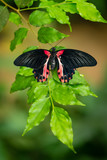 Red and black tropical butterfly resting on the green branch