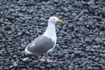 Seagull on rocky beach.