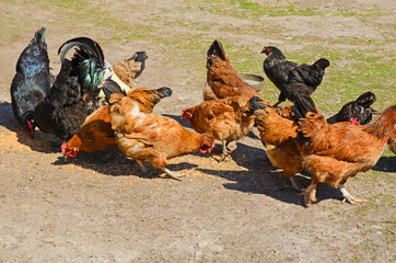 Rooster and hens pecking grain 2
