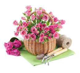 Bunch pink roses in basket with garden tools. Isolated on