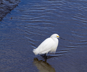 Snowy Egret Squatting in Water
