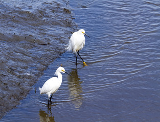 Two Egrets Standing in Water in Wetlands