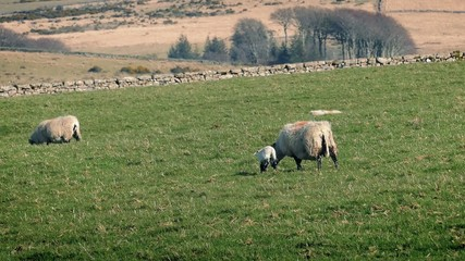 Sheep With Her Lamb In Field
