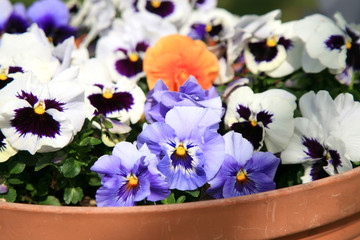 Flowering pansies in the spring rustic garden