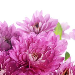 Flower pink chrysanthemums on a white background