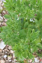 pianta di fava nell'orto