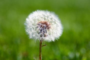 Dandelion on grassy background