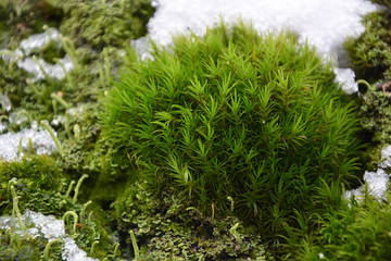 Moss and snow at the spring season. Closeup view