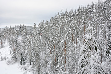 Winter forest- snowy pine and fir trees on the hill