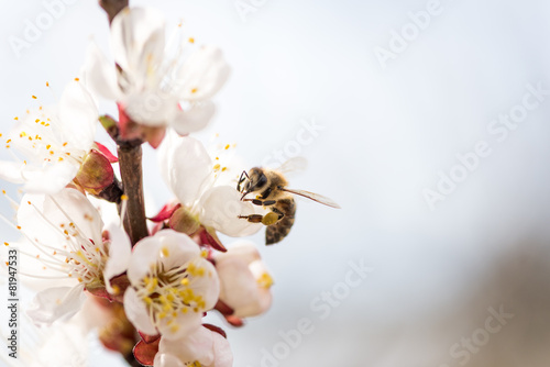Peach blossoms with a bee