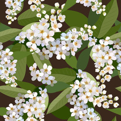 Seamless background from bunch of blossoming cherries flower